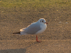 West Kirby seagull 2