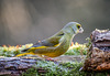the greenfinch in Alsace : le verdier