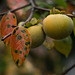 Persimmon and leaves