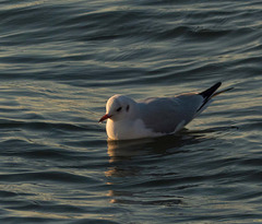 West Kirby seagull 3
