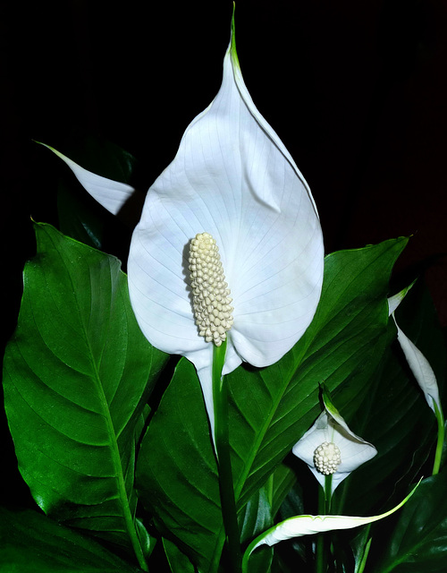"""Spathiphyllum (a.k.a. """"Peace lily""""). Best viewed on black."""