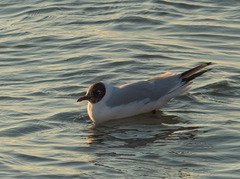 West kirby seagull 4