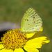 Little Yellow (Pyrisitia lisa)