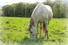 le cheval blanc dans le pâturage