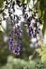 353/366: Wisteria Blossoms