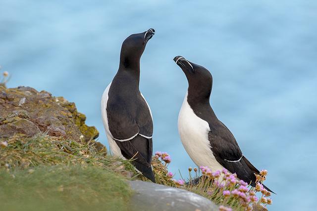 Parade de pingouins torda