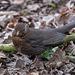 Female blackbird6