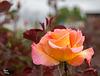 327/366: Gorgeous Sherbet Rose