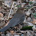 Female blackbird9