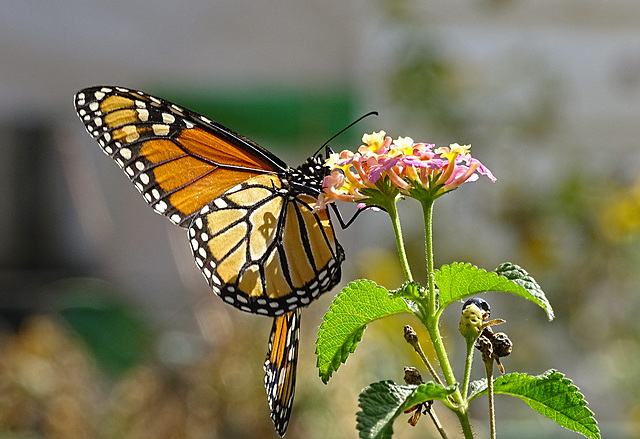 Monarch butterfly (Danaus plexippus)21-10-2015