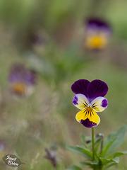 326/366:  Lovely Little Violas