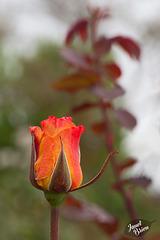 325/366: Orange Sherbet Budding Rose