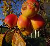 Malus fruit