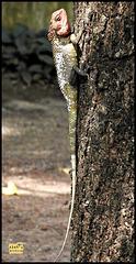 Gecko ???