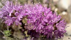 Fleurs de garrigue, ça sent si bon..! à regarder en grand.. SVP...!