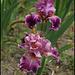 Iris Barocco