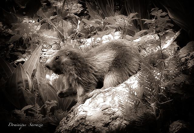 Marmotte - Parc de la Vanoise