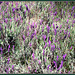Spanish (and Portugese, I hear you, Isabel) ... OK; Iberian lavender!