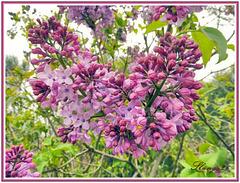 Les fleurs du printemps,  The flowers of the spring.