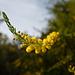 mimosas excentriques 1