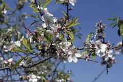Almond Blossoms – Artists' Village, Ein Hod, Haifa District, Israel