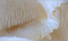 Tiered Tooth Fungus ~ Gelobde pruikzwam (Creolophus cirrhatus. Syn: Hericium cirrhatum)...
