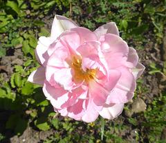 Gruß mit Tulpe - saluton per tulipo