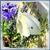 "Cabbage white: ""I love lavender..."" ©UdoSm"
