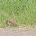 Linnet on Path