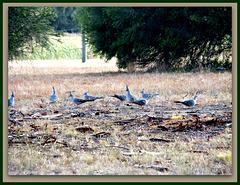 Pigeon group