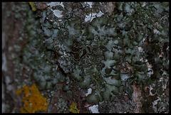 Parmelia acetabulum (1)