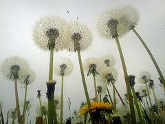 Forest of dandelions