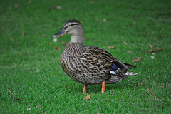 Female Duck at Audley End
