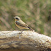 Migrant Wheatear