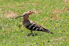 Hoopoe in the grass (Explored)
