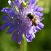 La thomise tueuse d'abeilles, si jolie pourtant!