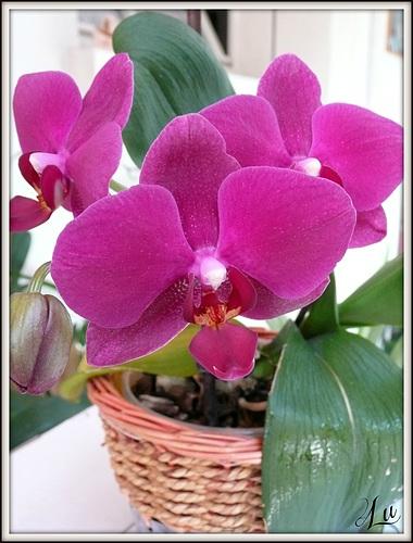 ** Une de mes orchidées **