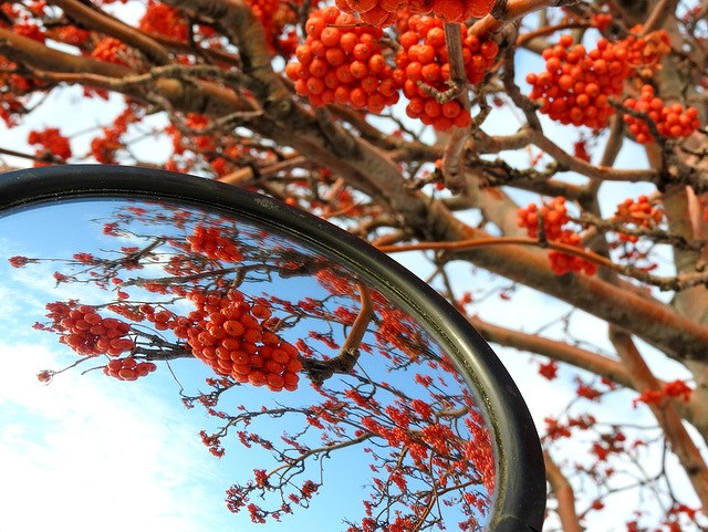 Reflected Berries