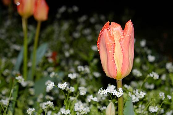 BESANCON: Une tulipe au gardin des sens
