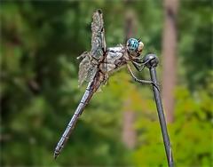 8147451dL Dragonfly