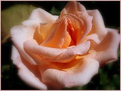 Bonne fête aux Roses ♥