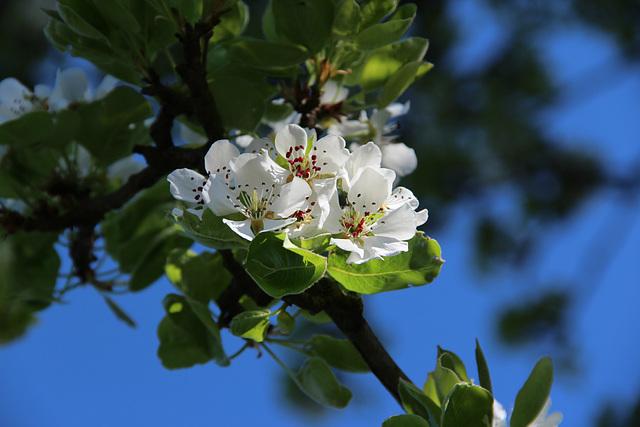 Blüten der Birne