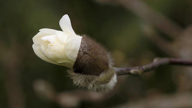 Bouton de magnolia stellata