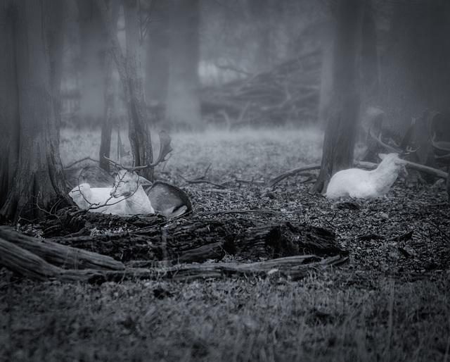 weiße Hirsche im Tiergarten