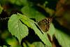 Tircis (parage aegeria) dans un sous-bois.