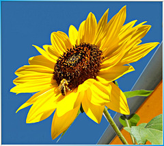 Sunflower nectar is offered... ©UdoSm