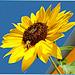 Sunflower nectar is offered... ©UdoSm
