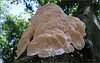 Spongy Toothed Polypore ~ Getande kaaszwam (Spongipellis pachyodon)... + PiP!