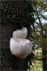 Lion's mane Mushroom ~ Pruikzwam (Hericium erinaceus)... + 2x PiP!