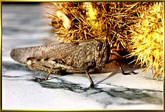 Feldheuschrecken (Acrididae) oder auch brauner Grashüpfer... ©UdoSm